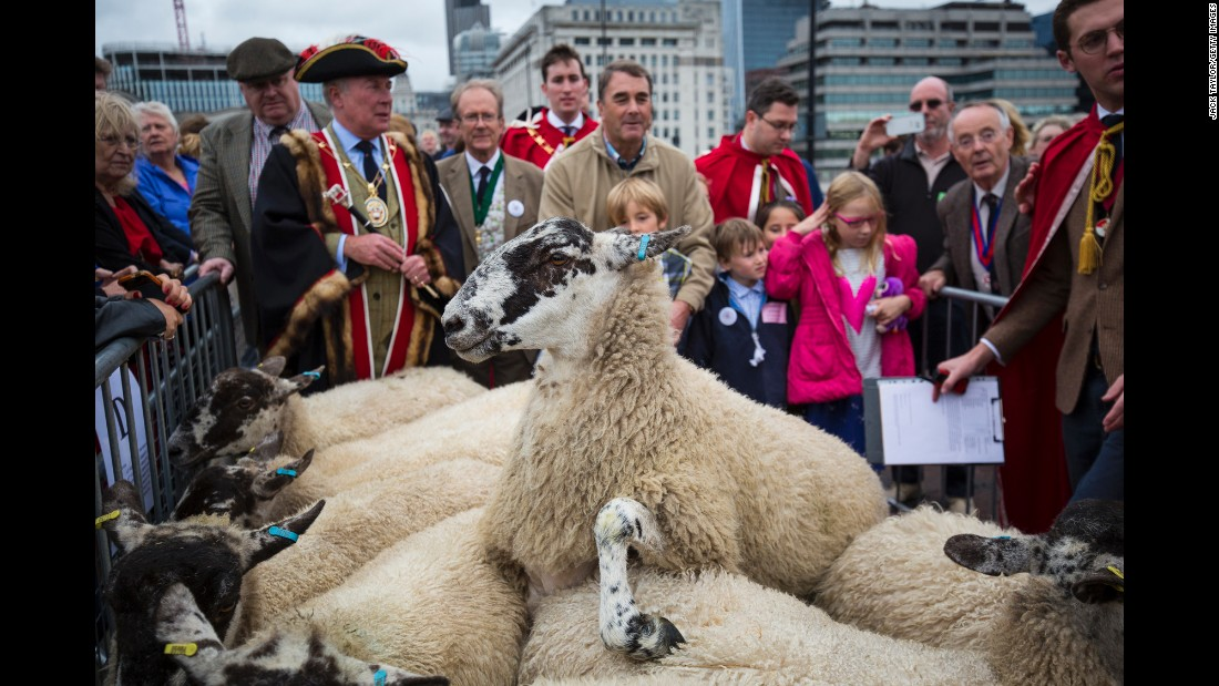 Sheep are driven across London Bridge on Sunday, September 25. The annual tradition recognizes the right of the city's Freemen to drive sheep across the city's oldest river crossing.
