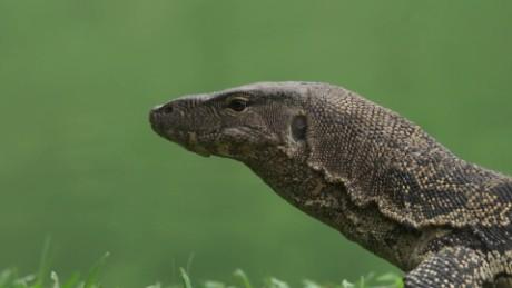 lizards bangkok lumpini park orig_00000000.jpg