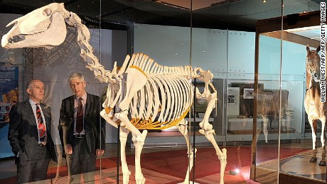 Michael Houlihan, chief executive officer of New Zealand's Te Papa Tongarewa Museum (L) and his counterpart, Patrick Greene of the Melbourne Museum (2ndL), inspect the skeleton of lengendary racehorse Phar Lap as the hide of the horse displayed behind, at the Melbourne museum in Melbourne on September 16, 2010. The skeleton and hide of Phar Lap are appearing together for the first time since his death at an exhibition marking the start of celebrations for the 150th Melbourne Cup and the 80th anniversary of Phar Lap's historic race win. The skeleton has been borrowed from Te Papa Museum - the first time it has left Phar Lap's country of birth since its return in 1933.  Phar Lap won 37 of his 51 starts.  AFP PHOTO/William WEST (Photo credit should read WILLIAM WEST/AFP/Getty Images)