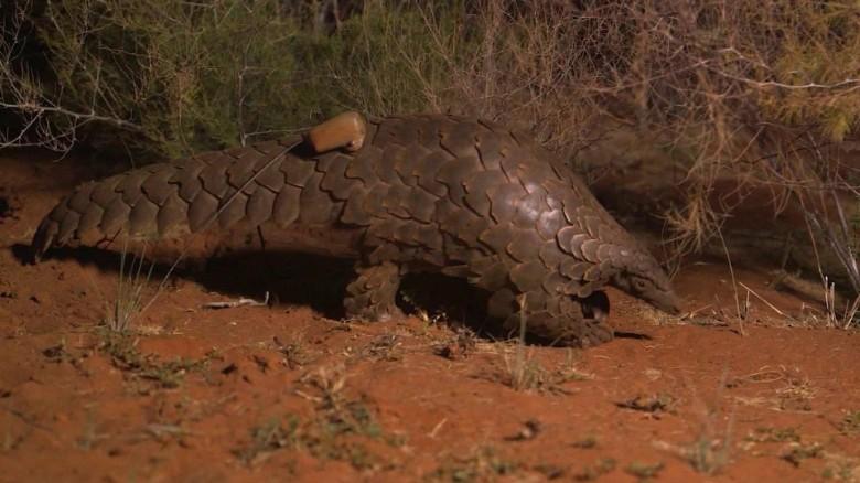 worlds most trafficked mammal mckenzie pkg_00010807