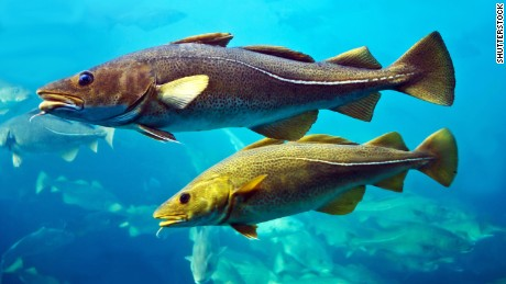 """Cod fish from different parts of the UK may have regional """"accents,"""" say scientists."""