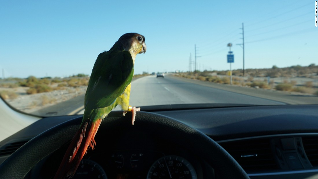 For this work the artist purchased the loneliest bird in a pet shop and took him on a road trip to the Salton Sea, one of the most diverse bird wildlife refuges in the US.