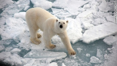 Rebecca Lee's photography captures polar bears treading over melting ice at the North Pole.