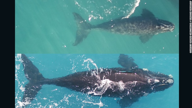 Bella's calf on July 3 (top) and September 4 (bottom). The calf grew 6 feet (1.83 meters) in length in two months.