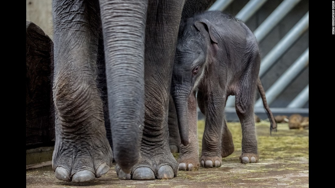 A 2-day-old Asian elephant stands next to his mother, Tamara, at a zoo in Prague, Czech Republic, on Sunday, October 9.