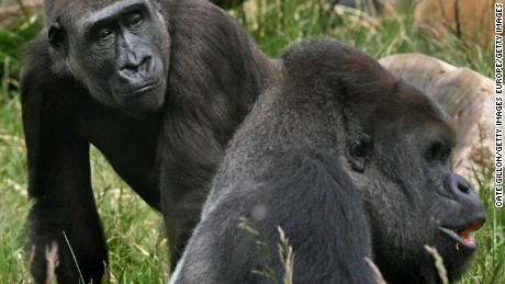 Gorillas pictured at London Zoo in 2008.