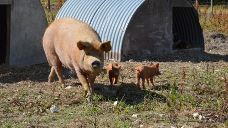 """""""It was a mistake to see the pigs before,"""" says Gray of her abattoir visit."""