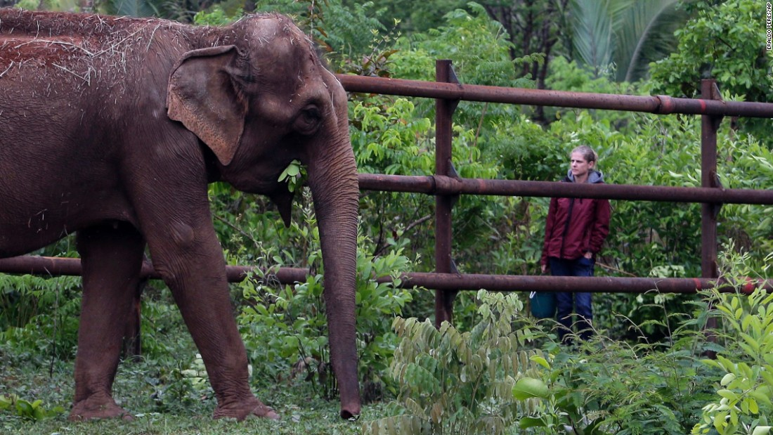 Asian elephant Guida explores the free area for the first time and is observed by a sanctuary technician.