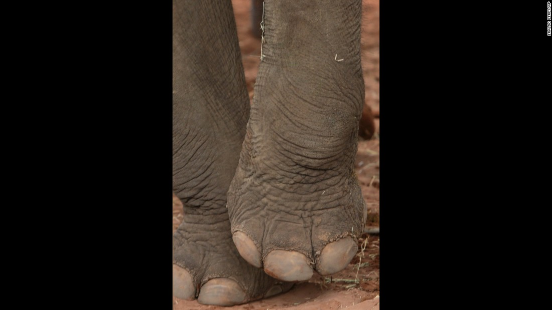 Asian elephant Guida lifts a paw as she stands in her new home.