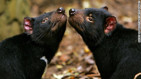 This file photo taken in 2007 shows two Tasmanian devils in captivity as part of a breeding project at the Tasmanian Devil Conservation Park in Taranna.