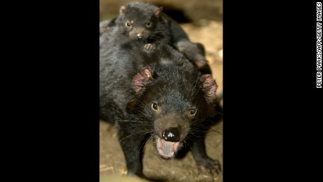 Tasmanian devils may hold the key to fighting human superbugs.