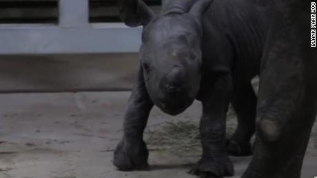 endangered black rhino born blank park zoo iowa_00001103.jpg
