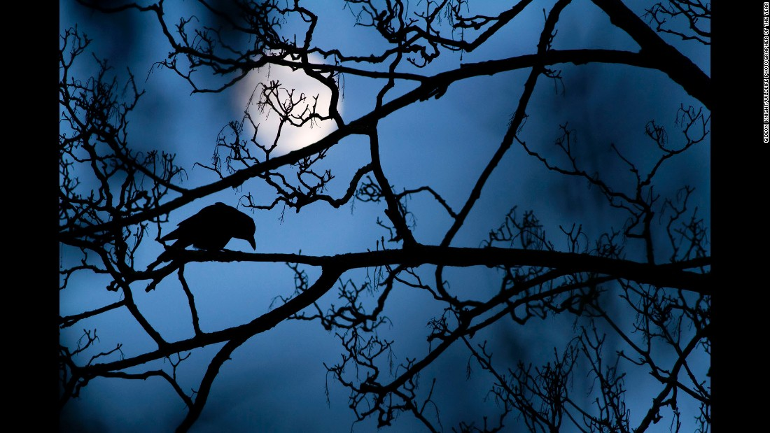 Category: Grand Prize (Young Wildlife  Photographer)<br />A crow perching in a tree is a common scene in a London park, but when set against the blue light of dusk and a full moon it felt 'almost supernatural, like something out of a fairy tale,' says Gideon.<br /><br />