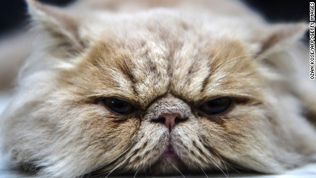 TOPSHOT - A persian cat  is pictured during a world cats show contest organized by the World Cat Federation (WCF) on October 16, 2016 in Istanbul. / AFP / OZAN KOSE        (Photo credit should read OZAN KOSE/AFP/Getty Images)