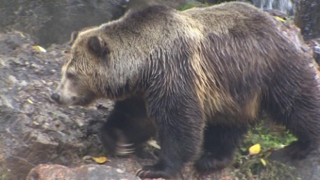 bring back grizzly bears California controversy nccorig_00000522.jpg