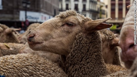 Sheep in the streets of Madrid during the annual celebration of transhumance in Madrid, Spain on October 22, 2016 (Photo by Marcos del Mazo / Pacific Press) *** Please Use Credit from Credit Field **