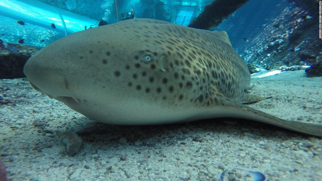 Zebra shark's 'virgin birth' at Australia aquarium