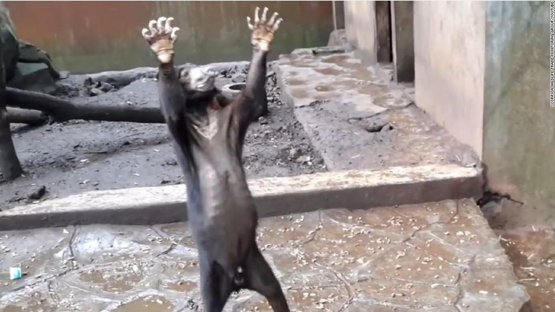 Emaciated bears beg for food in zoo