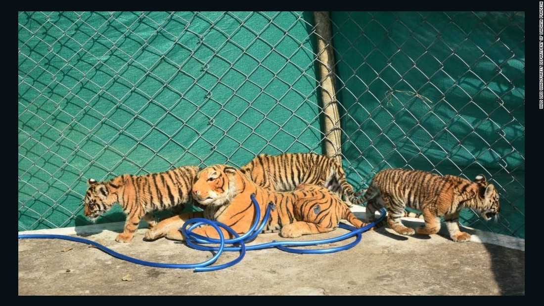 Soft toy tiger nurses orphaned cubs back to health
