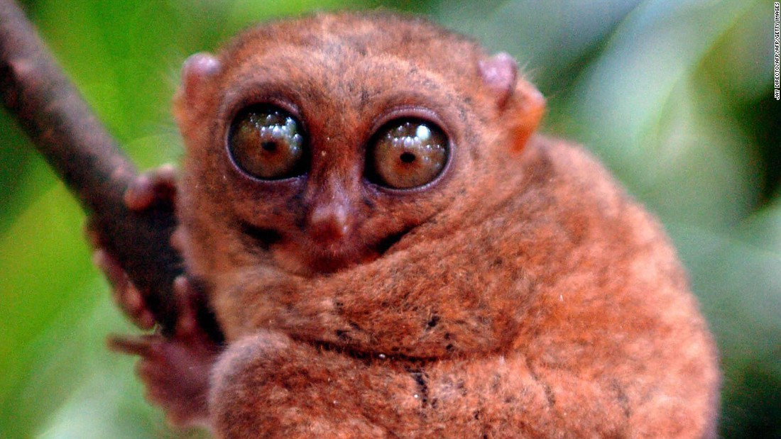 Meet the world's second-smallest primate