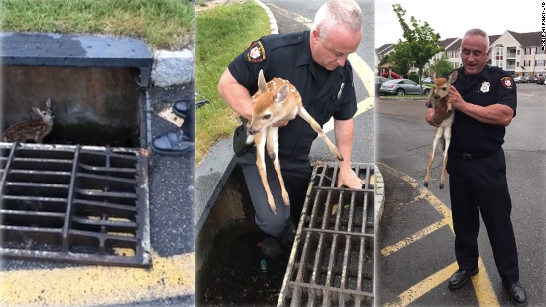 Cops save baby fawn from storm drain