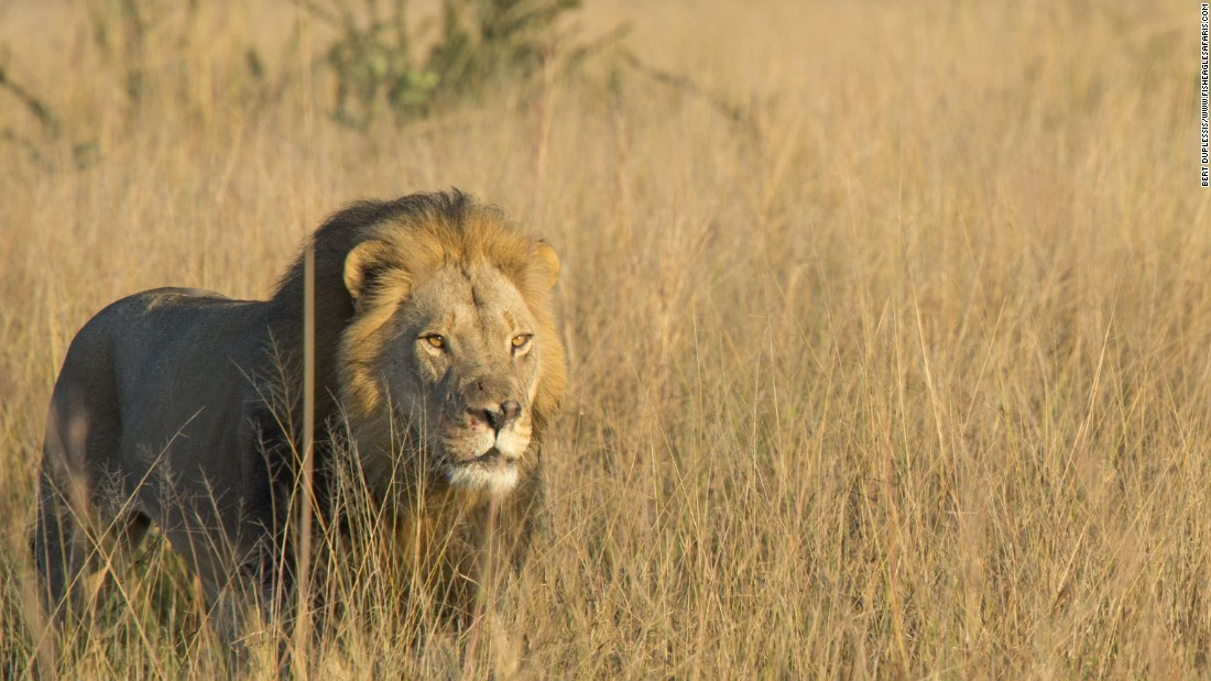 Cecil the lion's son killed by game hunter
