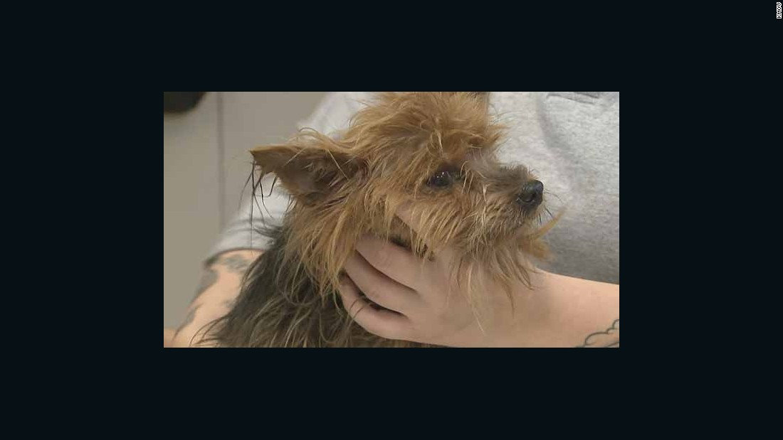 Human Society: Dozens of Yorkshire Terriers rescued