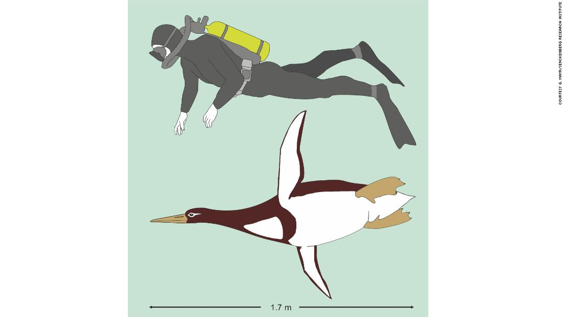 Giant ancient penguin was human-size