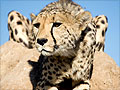 Breakfast with cheetahs