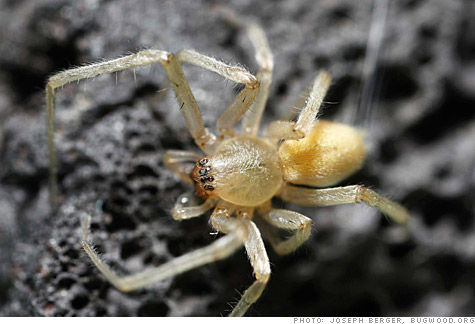 honda, mazda, yellow sac spider