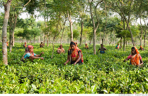 Women pick tea leaves in this Bangladesh garden where Teatulia buys its tea.
