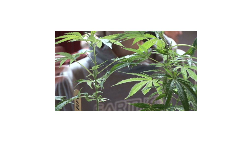A Marijuana mecca