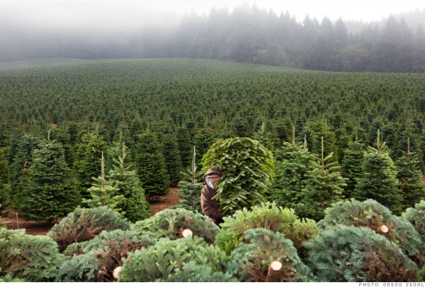FIO12 christmas tree farming