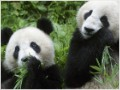 How China's booming panda business works