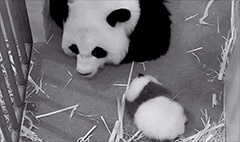 Panda cam returns as government reopens
