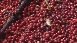 See where cranberries come from