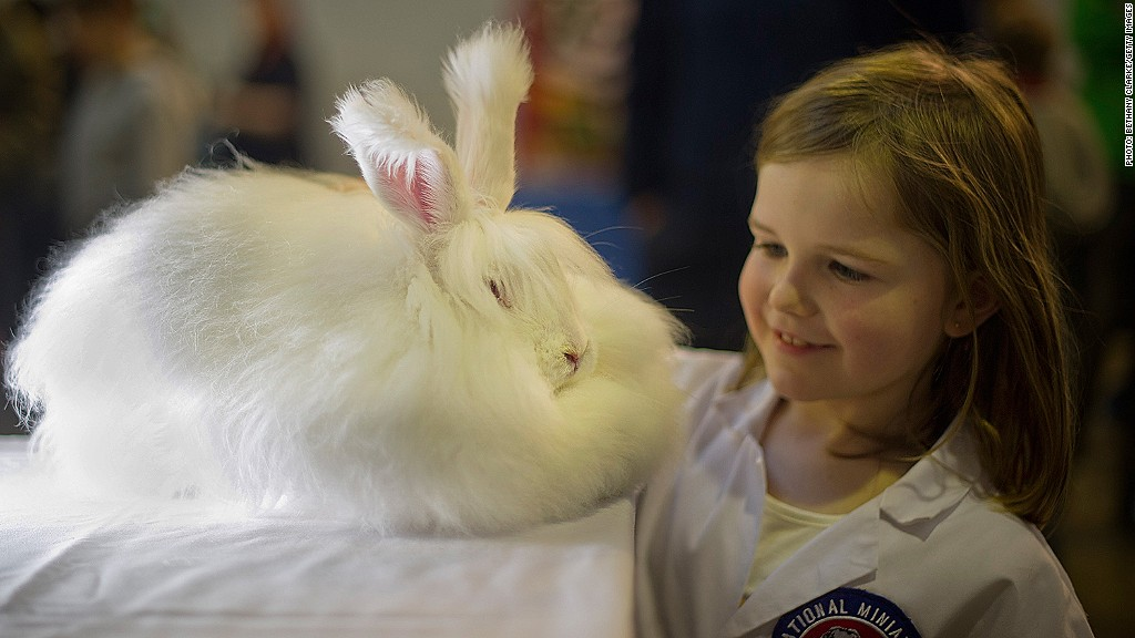Only six rabbit breeds possess angora wool: the Giant Angora, the French Angora, the English Angora, the Satin Angora, the American Fuzzy Lop, and the Jersey Wooly. Of these, the Giant Angora is the largest — more than 9 pounds at maturity — while the American Fuzzy Lop and Jersey Wooly are the smallest, at about 3 to 4 pounds.