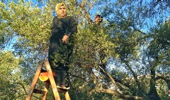 On the West Bank, an olive harvest battered by aggression