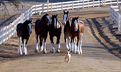What's up with the Budweiser Clydesdales?