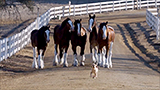 Is Budweiser dumping its iconic Clydesdales?