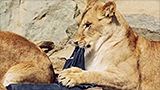 New fashion craze? Jeans ripped by lions