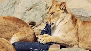 Lion-ripped jeans sell for $1,500