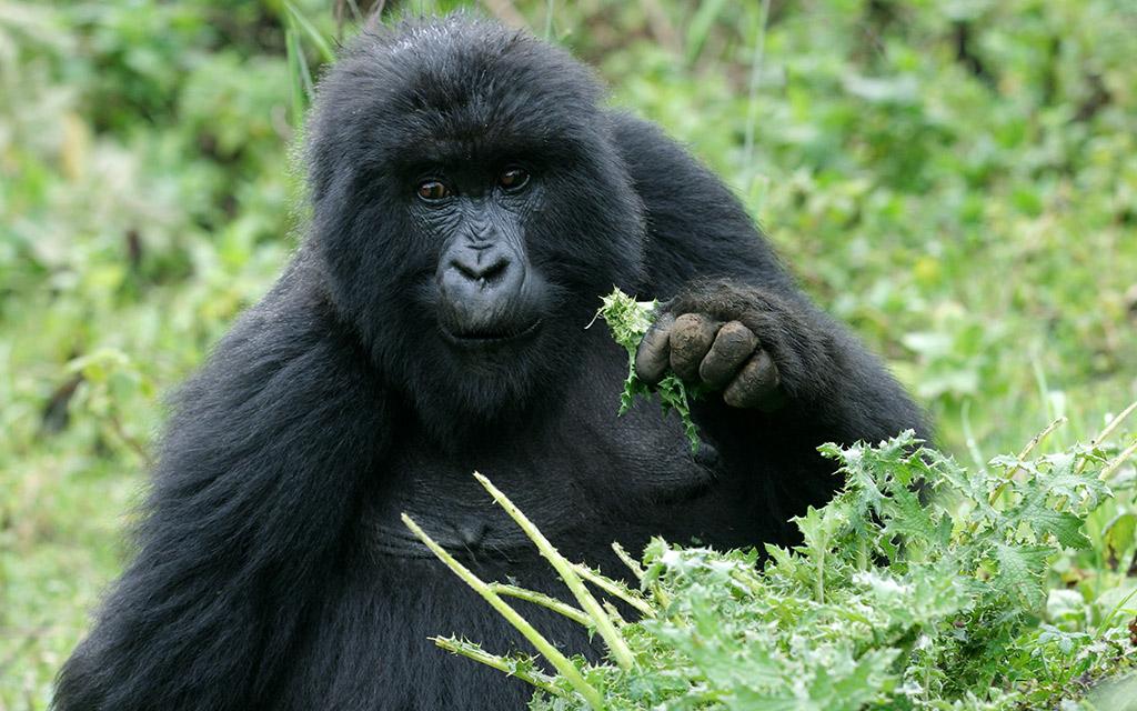 60,000 vacation rwanda gorilla