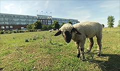 In Cleveland, sheep could be key to city's renewal