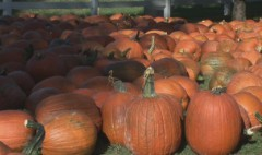 Thanks Starbucks: Pumpkin sales skyrocket
