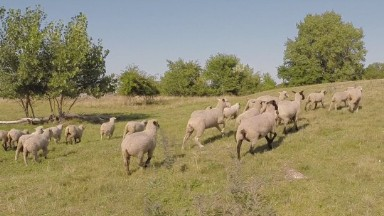 Cleveland uses sheep as lawnmowers