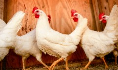 Tyson to phase out antibiotics in chicken