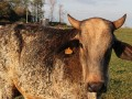 Cow farmers get high-tech tracking app