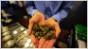 Colorado facing influx of black market pot