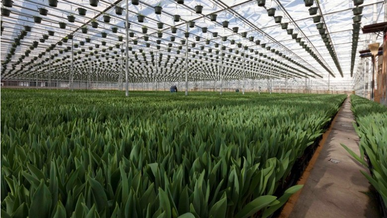 tulip greenhouse